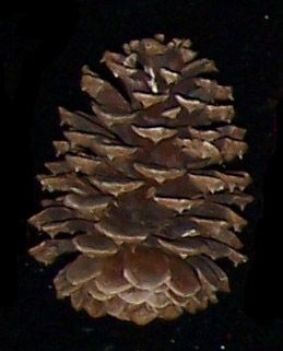 "SCA34 Pinecone Austrian Natural  3 "" -  4"""