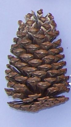 "SCLN110D Pinecone Large Natural Slash 4"" - 6"" Drilled"