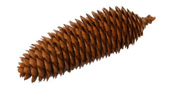 "SCNR100 Pinecone Norway Natural  4.5"" - 6.5"""